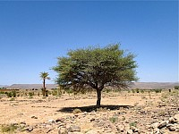 GREENSIGHT: THE SHITTAH - OR ACACIA TREE - AND ITS ROLE IN THE MAKING OF THE TABERNACLE