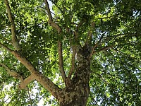 GREENSIGHT: THE 'ARMON' - OR PLANE TREE - AND ITS SPECKLED BARK