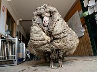 StrangeSights: Baarack's big fleece; 'No Enry'; and, one gull's long journey...