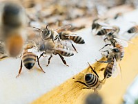 SIGHT-SEEING: BEES AND THE BIBLE - AND WHAT WE CAN DO TO HELP PREVENT 'COLONY COLLAPSE'