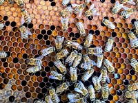 Postcards: Yemen's famed beekeepers feel the sting of climate change