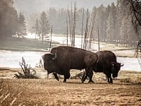 SNAPSHOT: BISON IN YELLOWSTONE NATIONAL PARK, US
