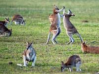 SNAPSHOT: 'WALZING WALLABIES', TRINITY BEACH, AUSTRALIA