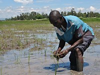 Postcards: Fears for Kenya's urban food supply as floods drown rice