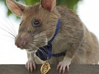 StrangeSights: Rat wins gold medal; pet comedy awards; and, melting statues...