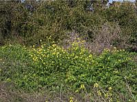 GreenSight: 'Sinapis' or mustard plant