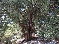 GreenSight: The 'allon' or oak tree