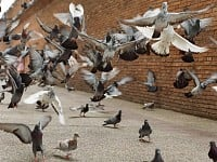 StrangeSights: Feathers fly over pigeon's fate in Australia; a tale of lost coins; and, inflatable 'Trump Baby' to live on...