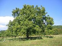 GreenSight: The 'egoz' or walnut